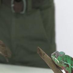 Chameleon hugging wooden branch Stock Footage