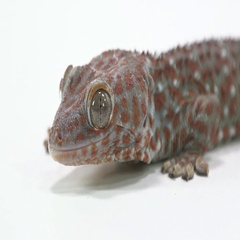 Tokay Gecko face on white close up table Stock Footage