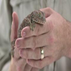 Tokay gecko in man hands Stock Footage
