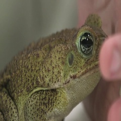 Cane toad close up side profile Stock Footage