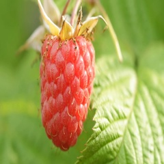 Close up ripe raspberry in the garden Stock Footage