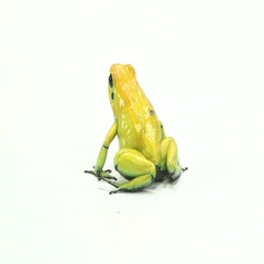 Dart Frog on white background static Stock Footage