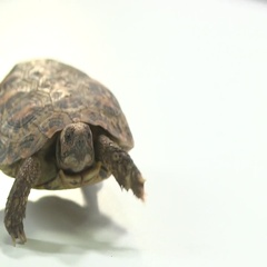 Pancake turtle shy in shell Stock Footage