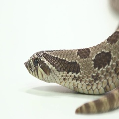 Hognosed snake close up of scales on white Stock Footage