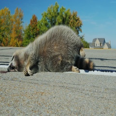 Dead raccoon lying on the road. Animals - victims of collisions with cars Stock Footage