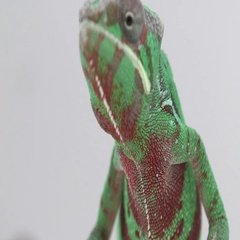 Chameleon looking proud on white back Stock Footage