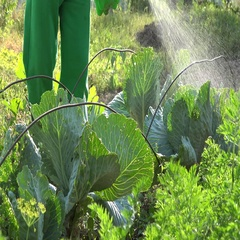 Gardener apply chemicals on cabbage vegetable plants with sprayer. Closeup. 4K Stock Footage