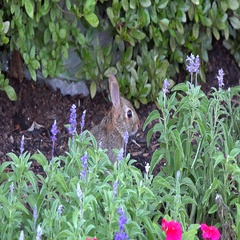 4K Eastern Cottontail Rabbit hides in flowers Stock Footage