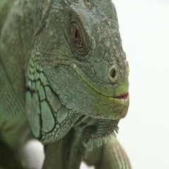 Iguana face and body on white Stock Footage