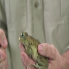 Cane toad in zookeeper hand Stock Footage