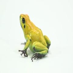 Dart Frog - Poinsonous animal Stock Footage