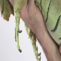 Iguana face cradled on white by zookeeper Stock Footage