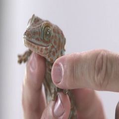 Tokay Gecko being shown by keeper Stock Footage