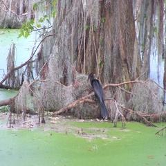 Ahinga bird fights fish Stock Footage