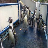 Close up of penguins group Stock Footage