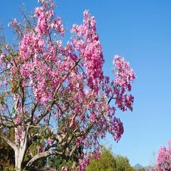 Silk Floss Tree blossom Stock Footage