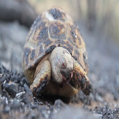 Burnt Greek tortoise Stock Footage