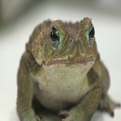 Cane toad close up sit on white Stock Footage