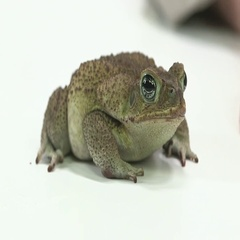 Cane toad on white table Stock Footage