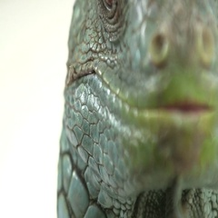 Iguana face side of head Stock Footage