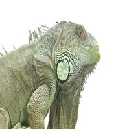 Iguana side profile on white Stock Footage