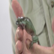 Whites tree frog crawling on hand Stock Footage