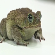 Cane toad on white Stock Footage