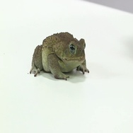 Cane toad on white table sitting Stock Footage