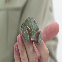 Whites tree frog being handled Stock Footage
