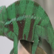 Chameleon on branch crawling Stock Footage