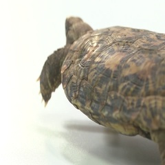 Pancake turtle in shell on white Stock Footage