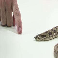 Hognosed snake biting finger Stock Footage