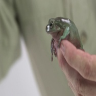 Whites tree frog being held in hand Stock Footage
