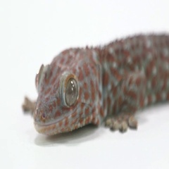 Tokay Gecko close up on white face Stock Footage