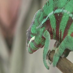 Chameleon with zookeeper Stock Footage