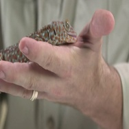 Tokay Gecko as pet in hands Stock Footage