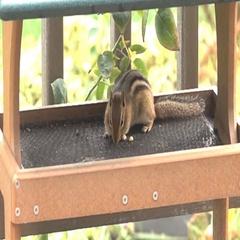 Chipmunk feeding on peanuts-extreme slow motion Stock Footage