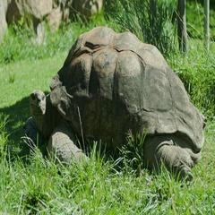 Aldabra Giant Tortoise Wink Stock Footage