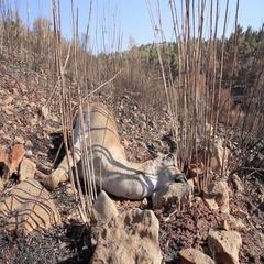 Dead mountain gazelle Stock Footage