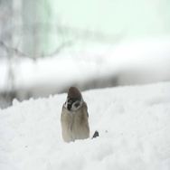 Sparrows Eating Seeds In Snowy Winter Stock Footage
