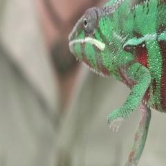 Chameleon lizard on branch Stock Footage