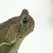 Cane toad close up face Stock Footage