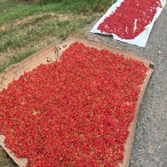 Chilli pepper harvest drying in Asia Stock Footage