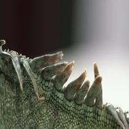 Iguana back features on white Stock Footage