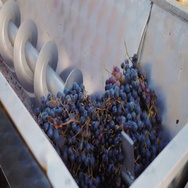 Extruding machine grape juice for a delicious dry red wine. Pour the grapes from Stock Footage
