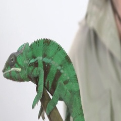 Chameleon at the top of a perched branch Stock Footage