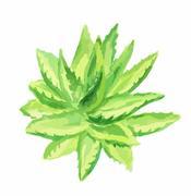 Watercolor aloe vera. Stock Illustration