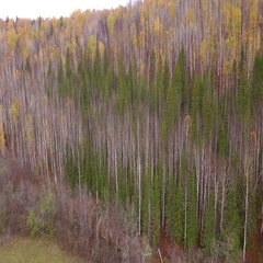 Aerial shot birch forest slope mountain landscape Stock Footage