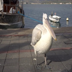 Most Popular Pelicans of Fethiye Coastline Stock Footage