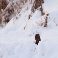 American Mink in snow. Stock Footage